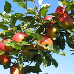 Tros met appels in boomgaard