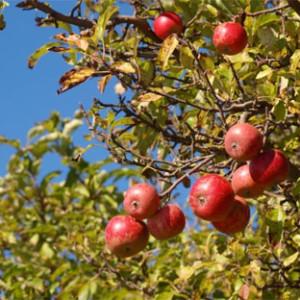 Appels aan de appelboom